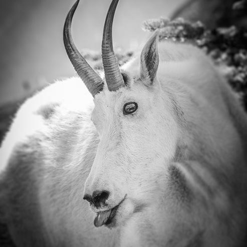 Cheeky_Goat